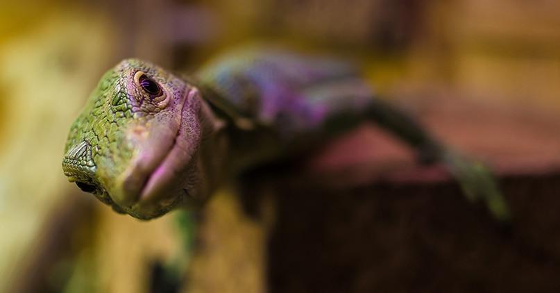 Reptil ser nyskjerrig mot kamera