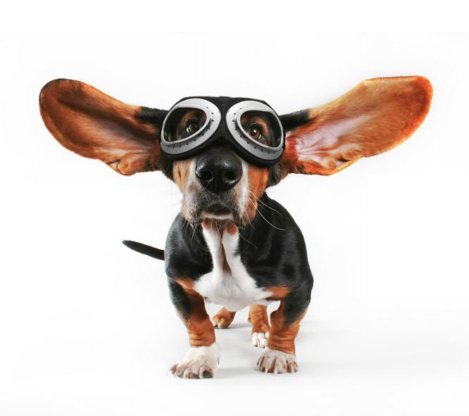 Fartsfylt hund med pilotbriller og lange øre som flakser ut mot sidene