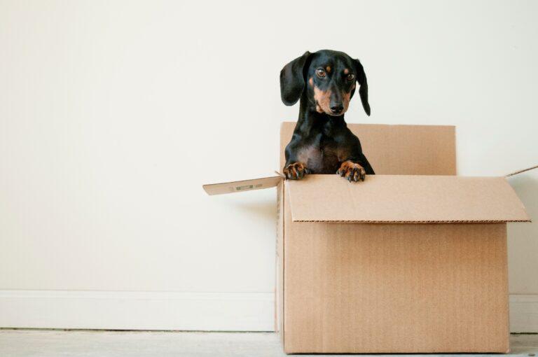 Sort dachshund sitter i en flytteeske